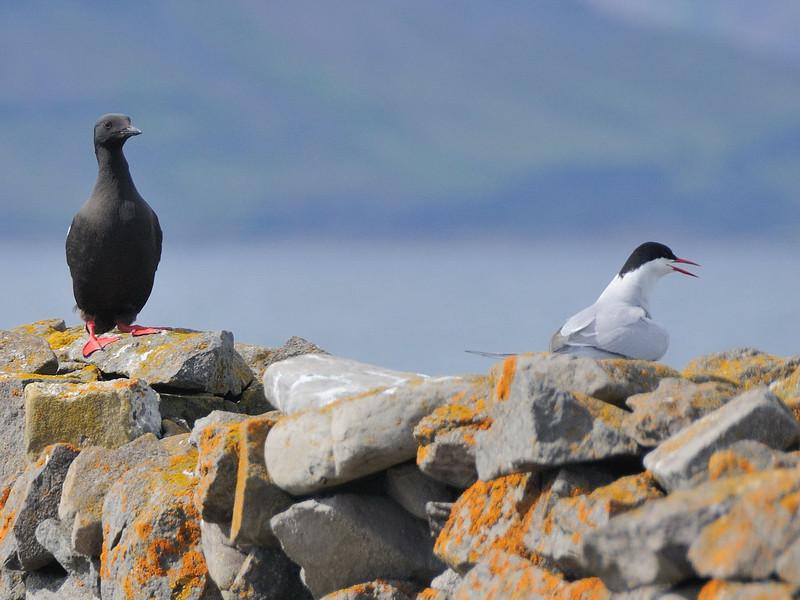 Black Guillemot (Cepphus grylle) and Arctic Tern.