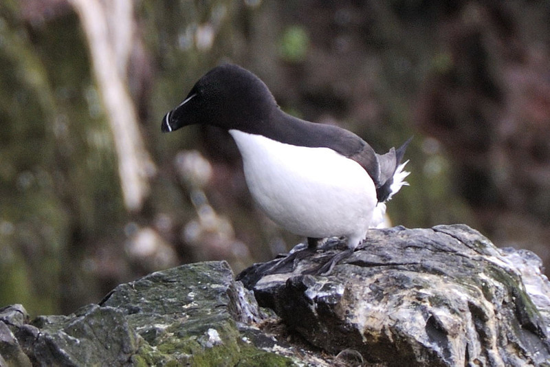 "<p align=""left"">The Razorbill (Alca torda) is a colonial seabird that only comes to land in order to breed. This agile bird chooses one partner for life; females lay one egg per year. Razorbills nest along coastal cliffs in enclosed or slightly exposed crevices.</p>"