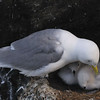 Kittiwake (Rissa tridactyla) with chicks.