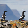 Black Guillemots. OK, let's be friends!