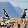 Black Guillemots (Cepphus grylle) being anti-social!