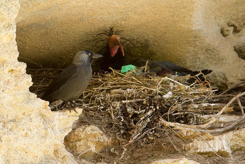 Jackdaw and Bald Ibis