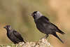 Jackdaw (Grajilla) Corvus monedula