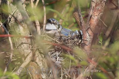Blue Jay on Nest