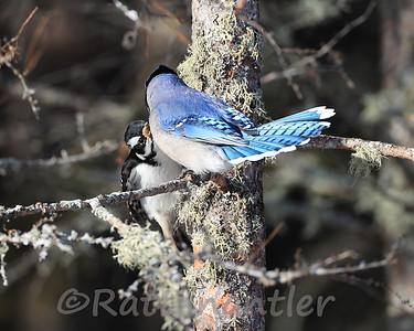 Hairy Woodpecker vs. Blue Jay