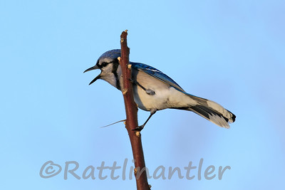 Scolding Blue Jay