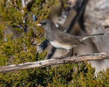Dark-eyed Junco, Wichita Mountains National Wildlife Refuge