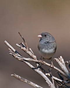 Dark Eyed Junco, Wichita Mountains Wildlife Refuge, Oklahoma