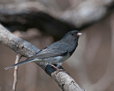 Junco, Wichita Mountains Wildlife Refuge, OK