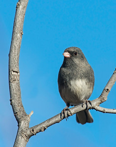 Dard-eyed Junco, Wichita Mountains Wildlife Refuge, OK