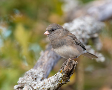 Dark-eyed Junco, Wichita Mountains National Wildlife Refuge
