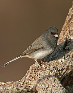 Dark-eyed Junco, Wichita Mountains Wildlife refuge, OK