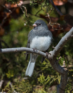 Dark Eyed Junco, Wichita Mountains Wildlife Refuge, OK