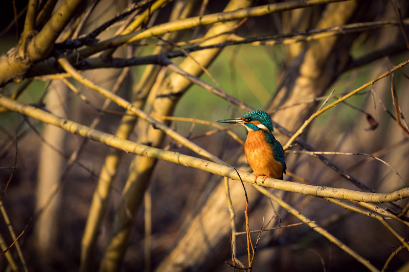 Kingfisher Sitting on a Branch in the Figgate Park