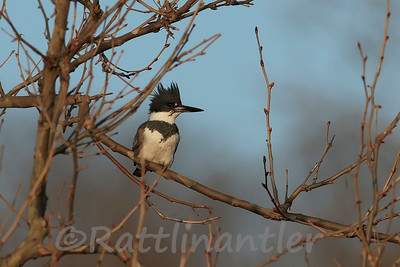 Belted Kingfisher ♀