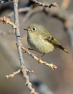 Ruby Crowned Kinglet, Wichita Mountains Wildlife Refuge, OK