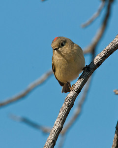 Ruby-crowned Kinglet, Wichita Mountains Wildlife refuge, OK