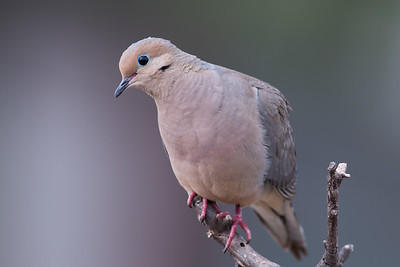 Mourning Dove.  3666 Bumann road, Olivenhain, California.