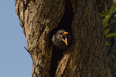 European Starling exiting tree nest.  Bumann Ranch, Olivenhain, California.