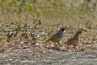 California  Quail  with chicks.   Bumann Ranch, Olivenhain, California.