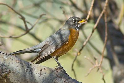 American Robin, male.  Gila Hot Springs,  New Mexico.