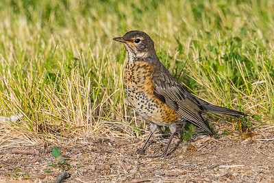 American robin, juvenile.  Bully Creek Reservoir, Vale, Oregon.