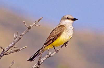 Kingbird.  3666 Bumann road, Olivenhain, California.