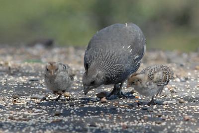 California quail with chicks.  3666 Bumann road, Olivenhain, California.