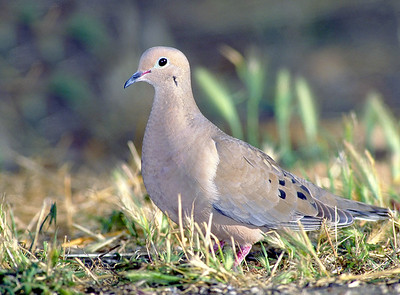 Mourning Dove.  Bumann Ranch, Olivenhain, California.