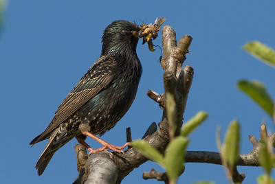 European Starling with bug catch.  Bumann Ranch, Olivenhain, California.