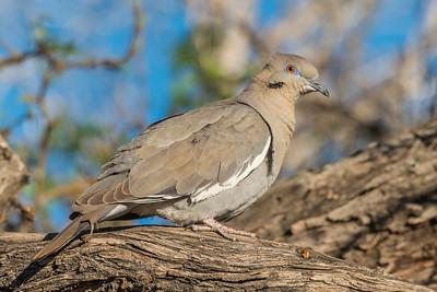 White winged dove.  Anza Borrego SP.