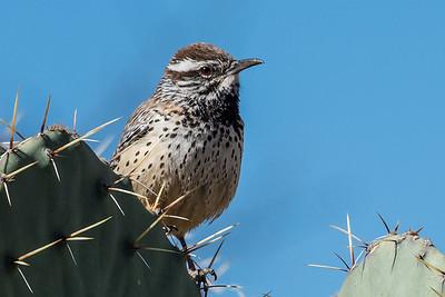 Cactus Wren.  Organ pipe NP, Arizona.