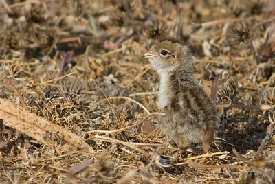 California  Quail chick.  Bumann Ranch, Olivenhain, California.