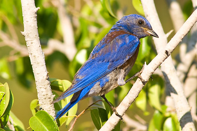 Western Bluebird.  3666 Bumann road, Olivenhain, California.