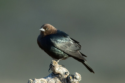 Brown-headed Cowbird.  Bumann Ranch, Olivenhain, California.