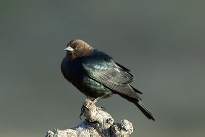 Brown-headed Cowbird.  3666 Bumann road, Olivenhain, California.