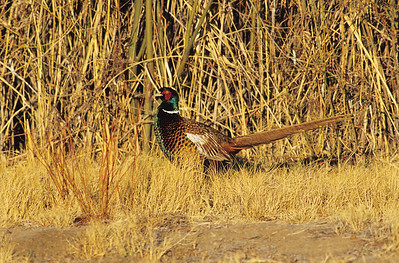 Ring-necked Pheasant.  Bosque Del Apache, New Mexico.