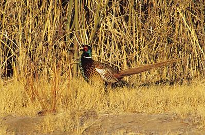 Ring-necked Pheasant.  Bosque Del Apache, New Mexico.
