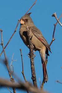 Pyrrhuloxia desert cardinal.  Organ Pipe NM, Arizona.