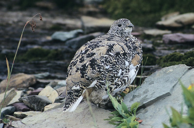 White-Tailed Ptarmigan.  Logan Pass, Glacier National Park, Montana.
