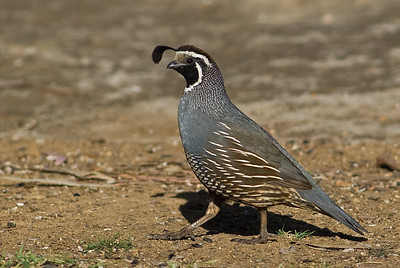 California  Quail.  Bumann Ranch, Olivenhain, California.