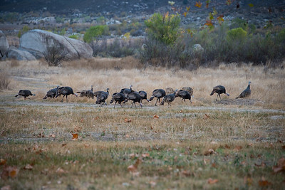 Wild turkeys.  Lake Morena, California.
