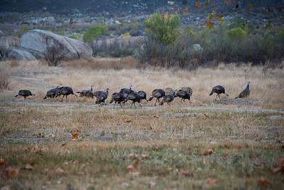 Wild turkeys.  Lake Morena, California.