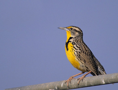 Western Meadowlark.  Salton Sea, California.