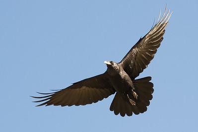 Common raven.  Bishop, California.