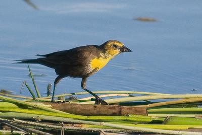 Yellow headed black bird.  Diaz lake,  California.