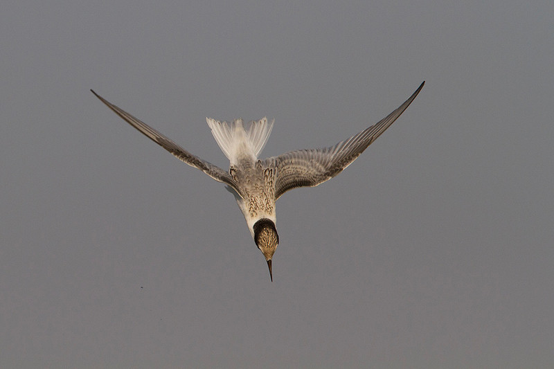 Charrancito. Little tern starting to dive.