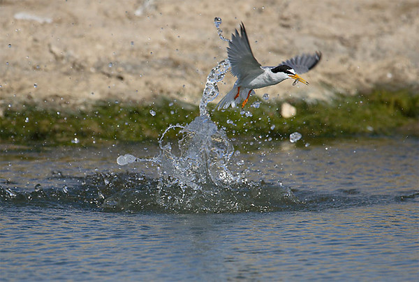 Little tern fishing, Sanlúcar 2007