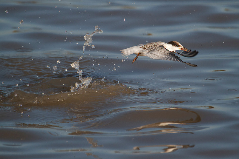 Young little tern that already has learned to catch fishes