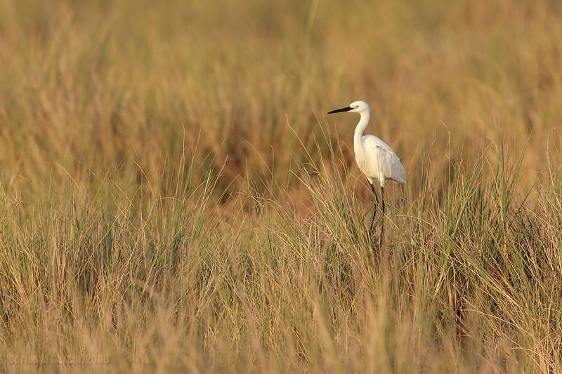Garceta común, Little egret (Egretta garzetta)